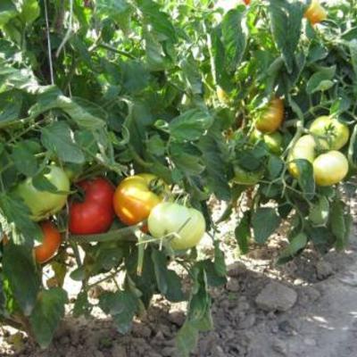 Mijn tomatenteelt