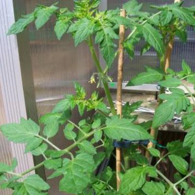 Bloeiende tomatenplant verpoten