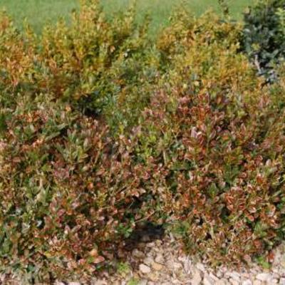 Buxus bruin en geel