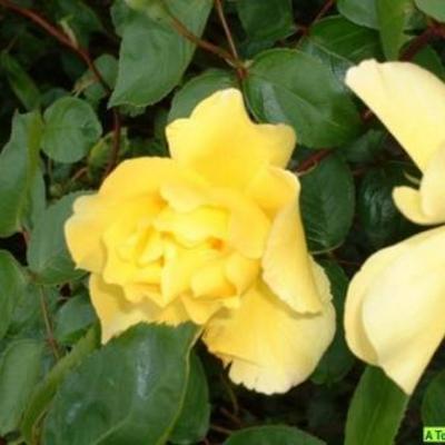 Naam van deze gele klimroos