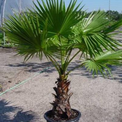 Te koopte ruil Washingtonia filifera zaden en zaailingen 2-3 bladeren