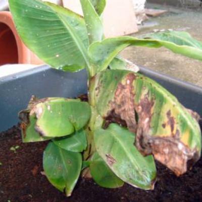 Mussa banana met bruine vlekken