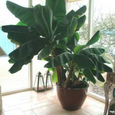B Mooie Grote bananenboom  plant te koop b
