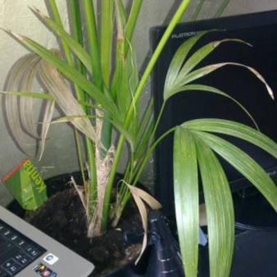 Kentia Palm bruine bladeren