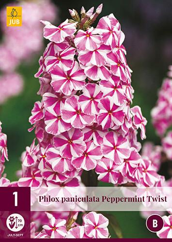 Phlox paniculata Peppermint Twist