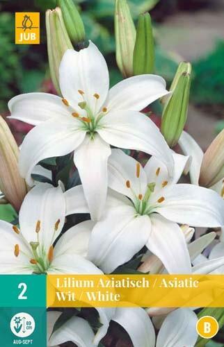 Lilium Aziatischwitte Aziatische lelies