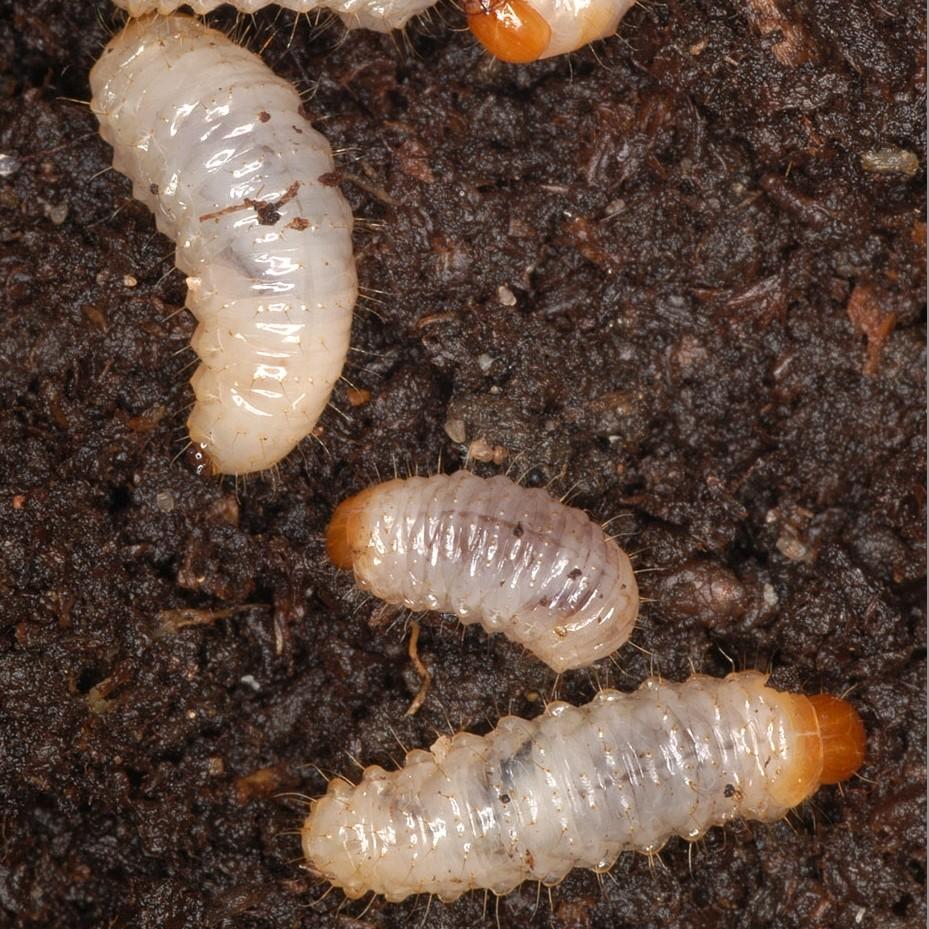 DCM KraussiGuard aaltjes tegen larven van de taxuskever voor 10 m2