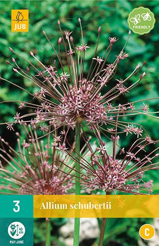 Allium schubertiisierui