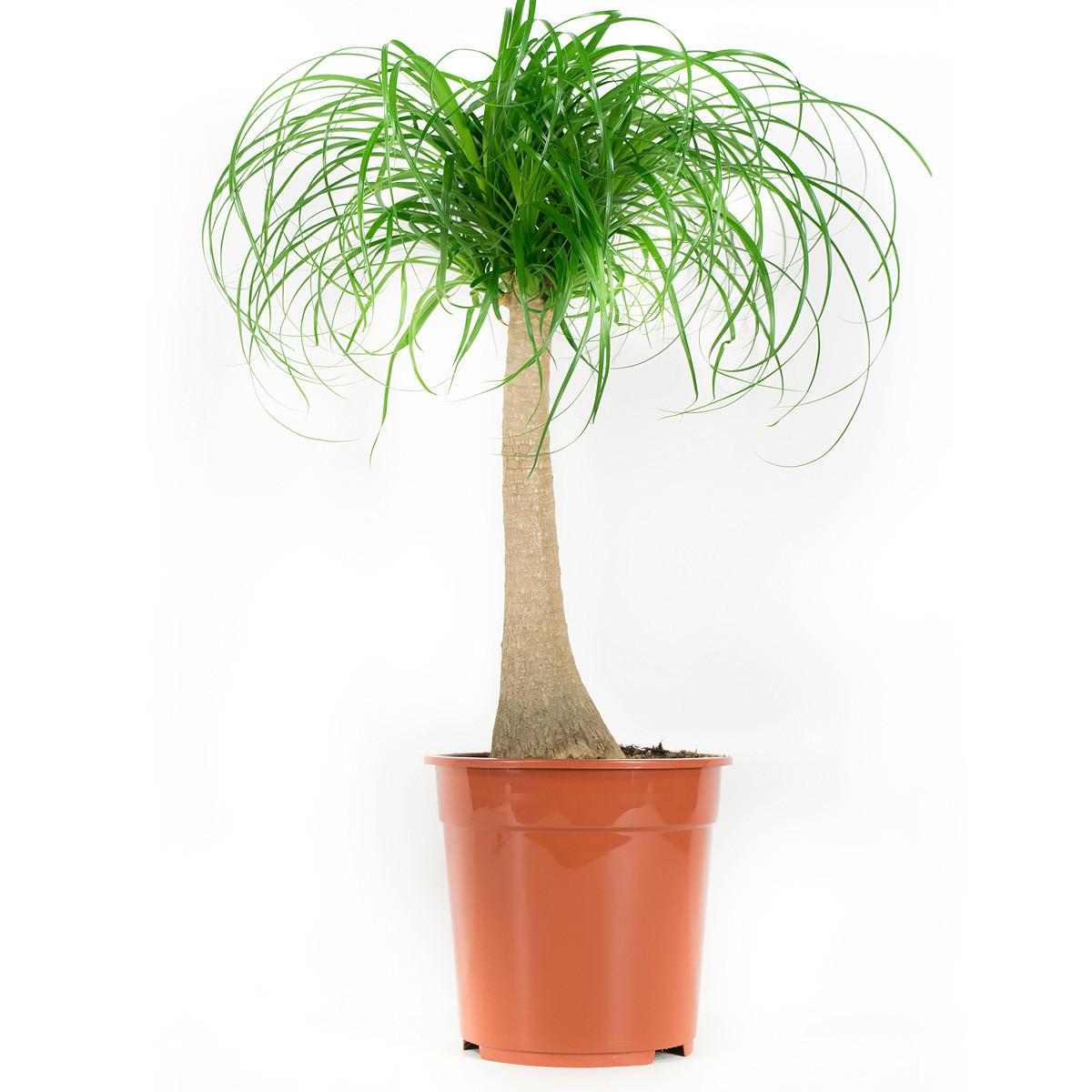 Beaucarnea kamerplant80 cm