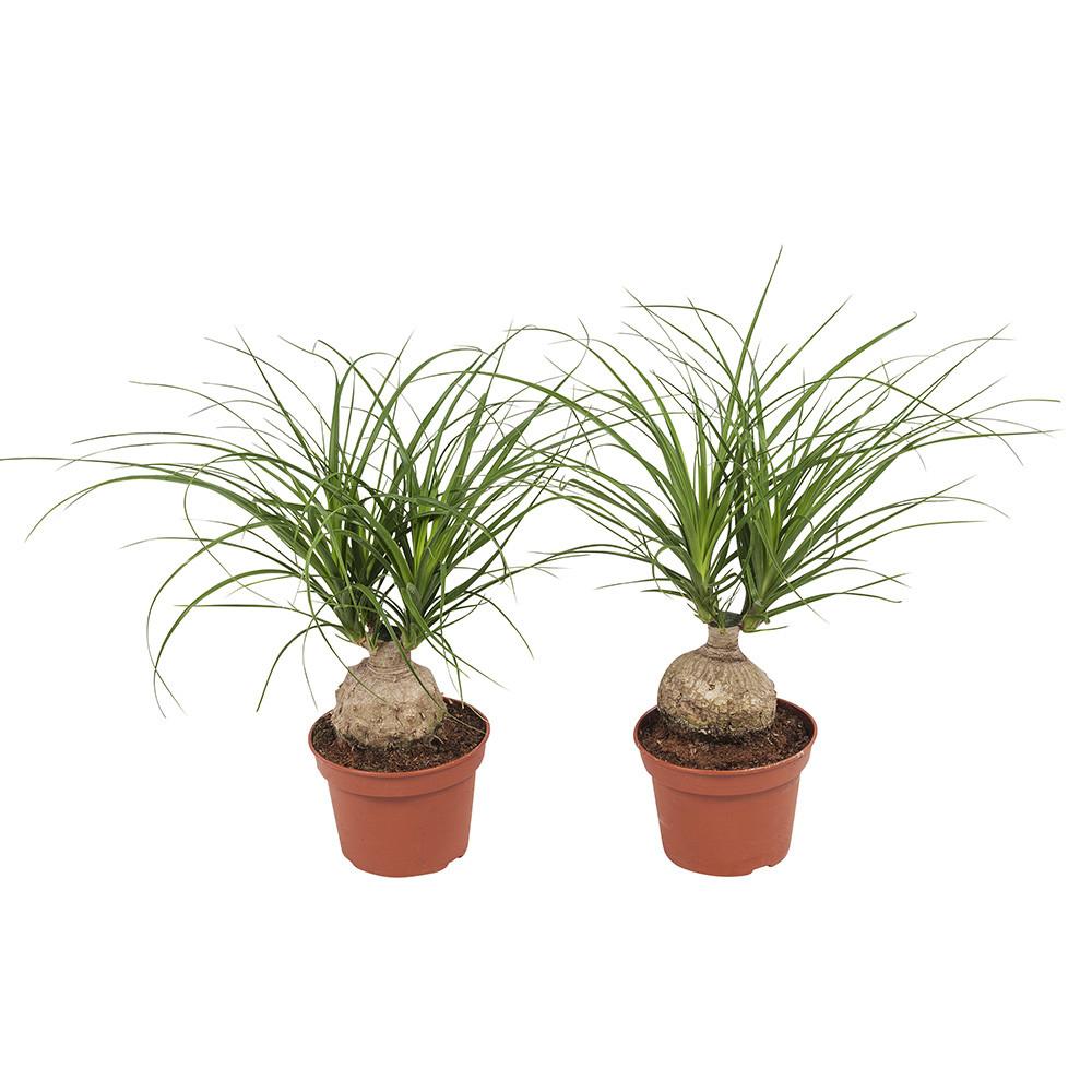 Beaucarnea kamerplant35 cm
