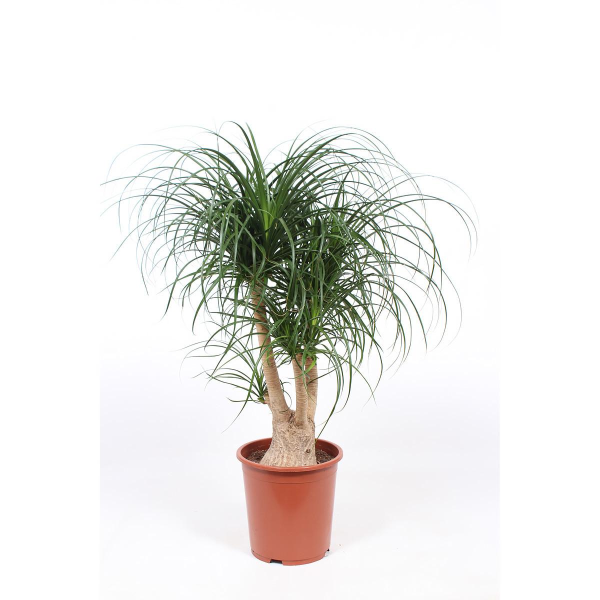 Beaucarnea recurvata120 cm
