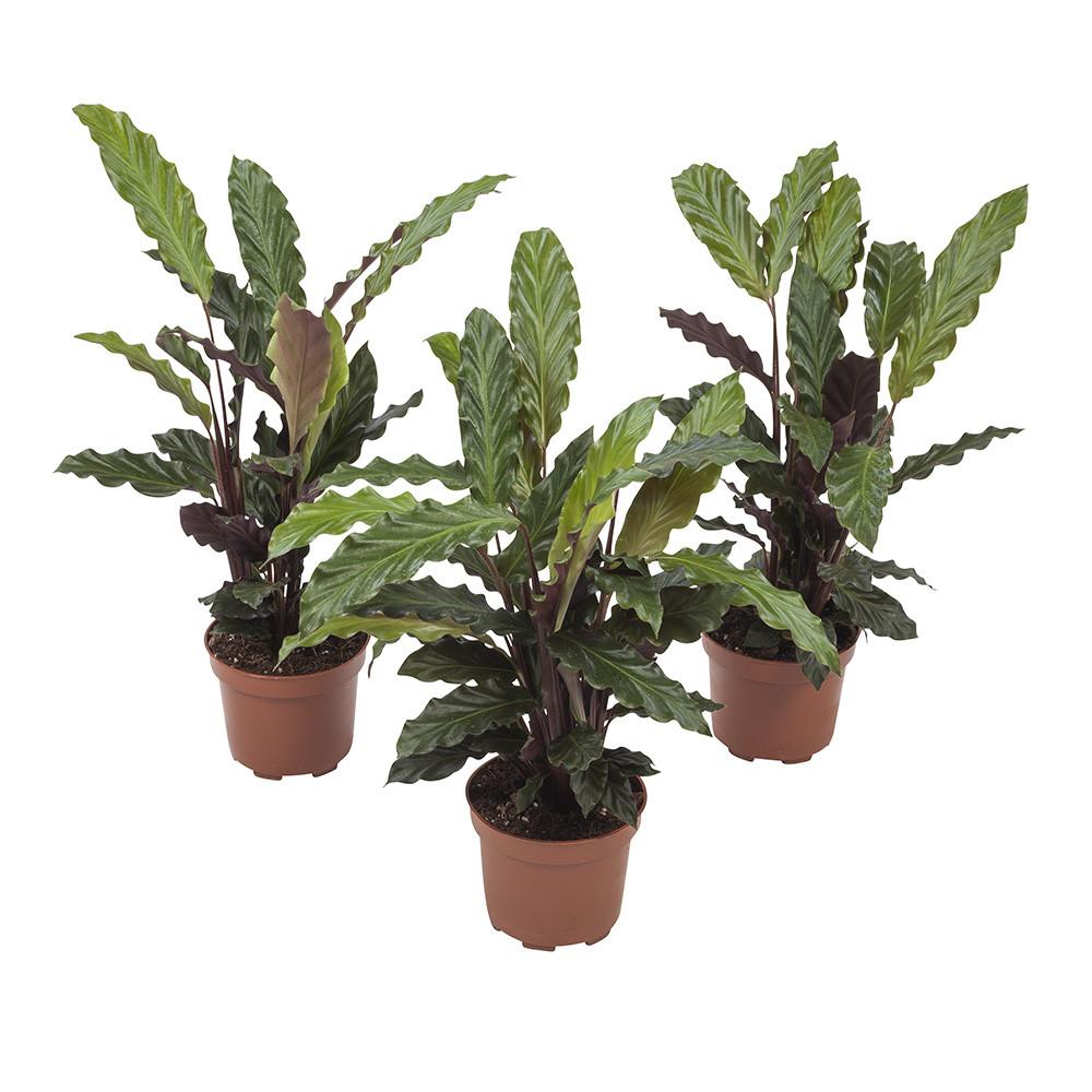 Calathea Rufibarba32 cm