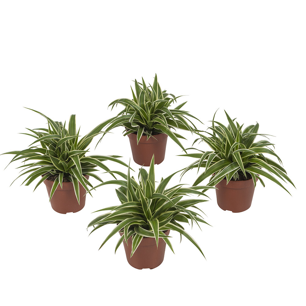 Chlorophytum Oceangraslelie20 cm