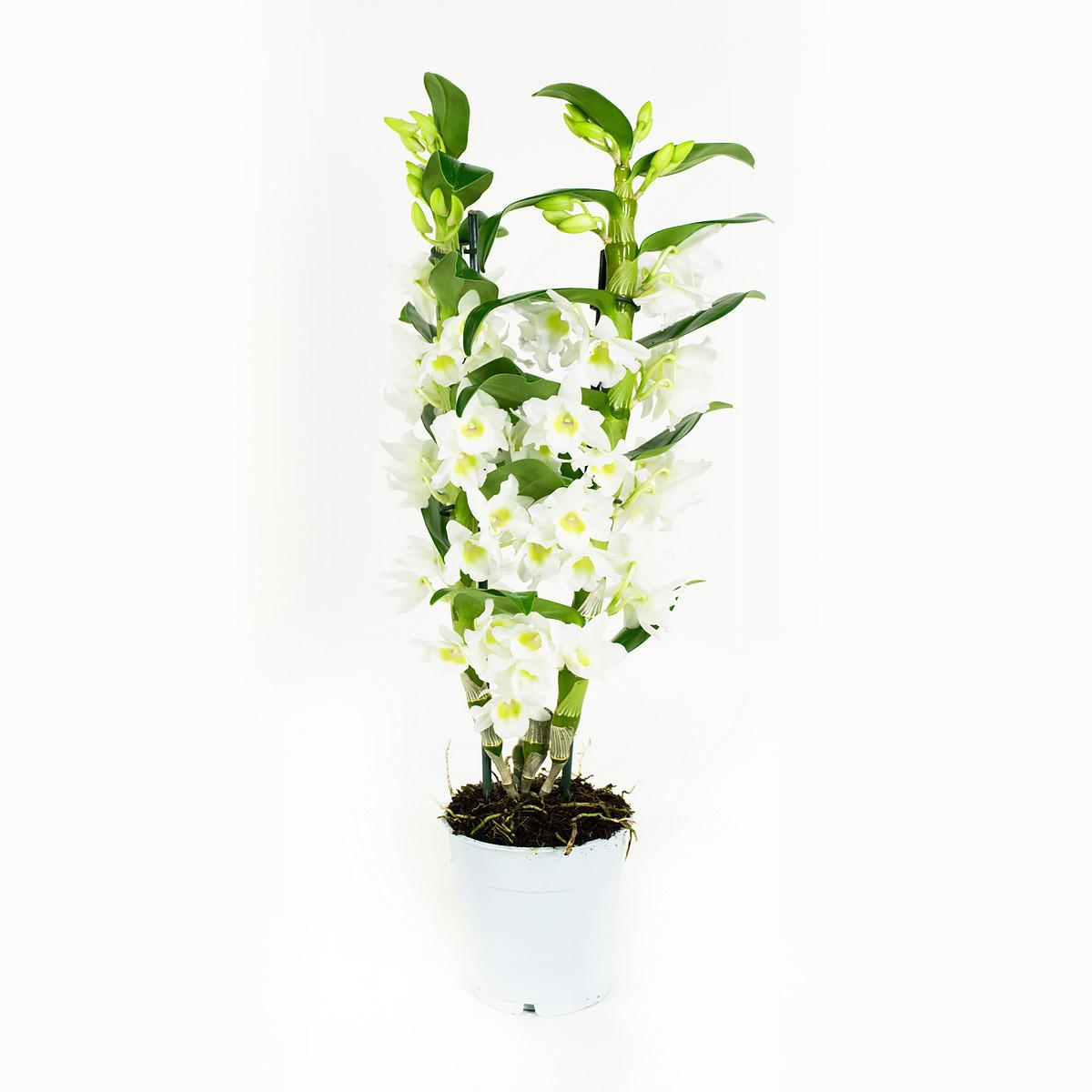 Dendrobium Nobil Apollon60 cm