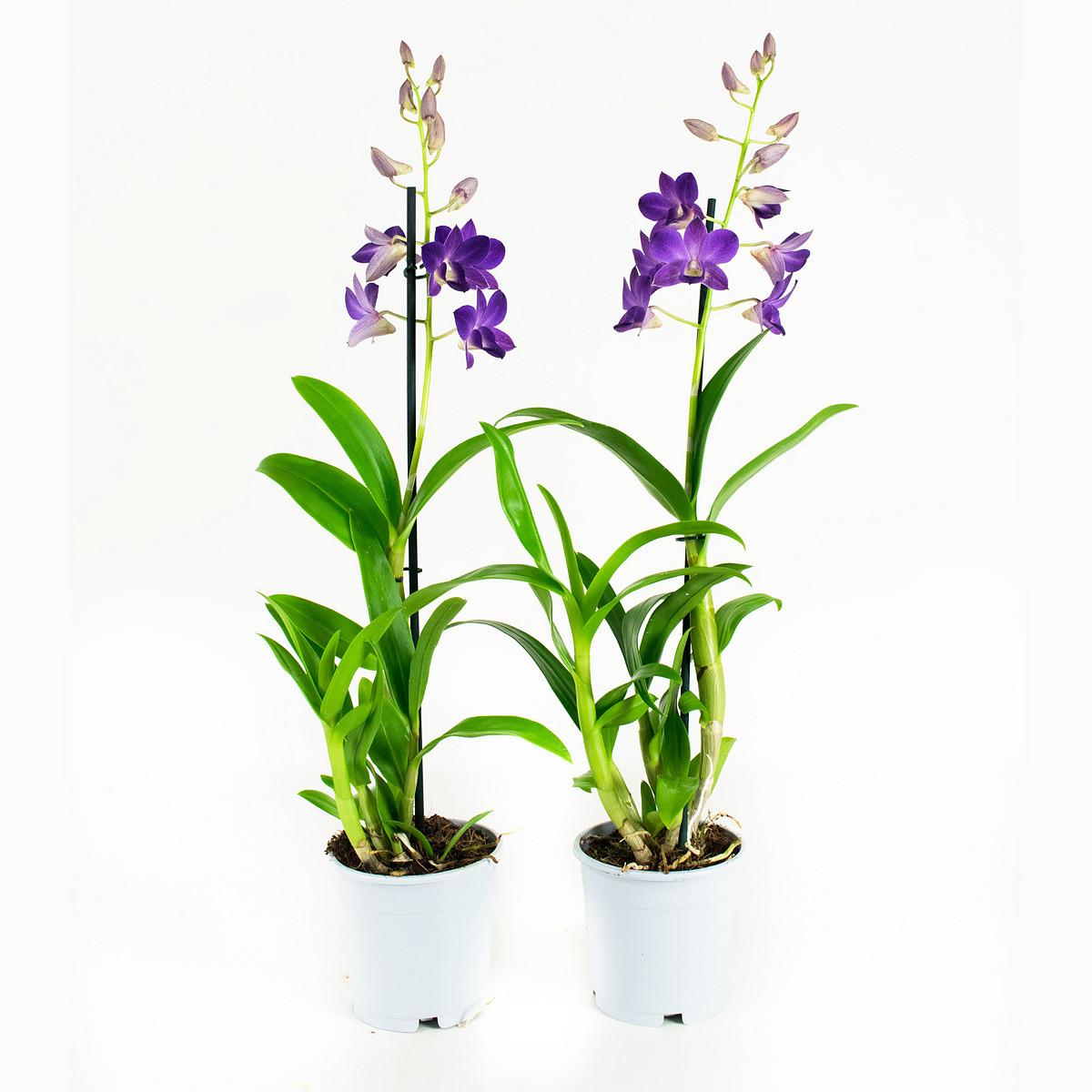 Dendrobium Sanook Blue Happiness55 cm