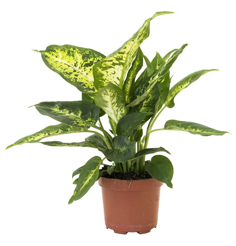 Dieffenbachia Compacta 35 cm