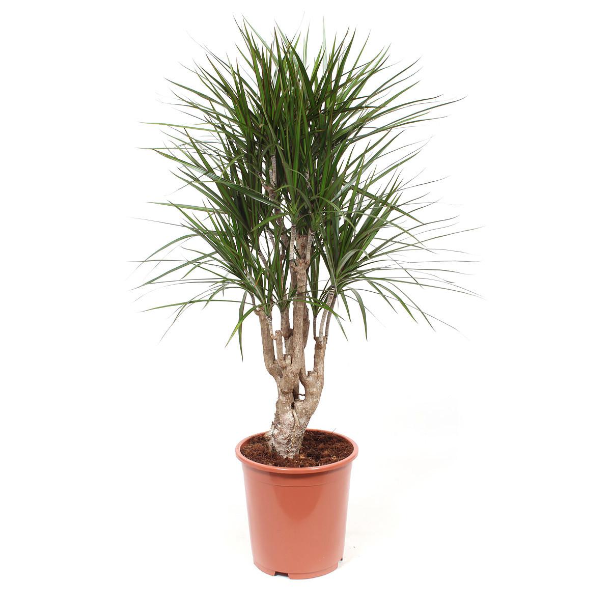 Dracaena Marginata kamerplant120 cm