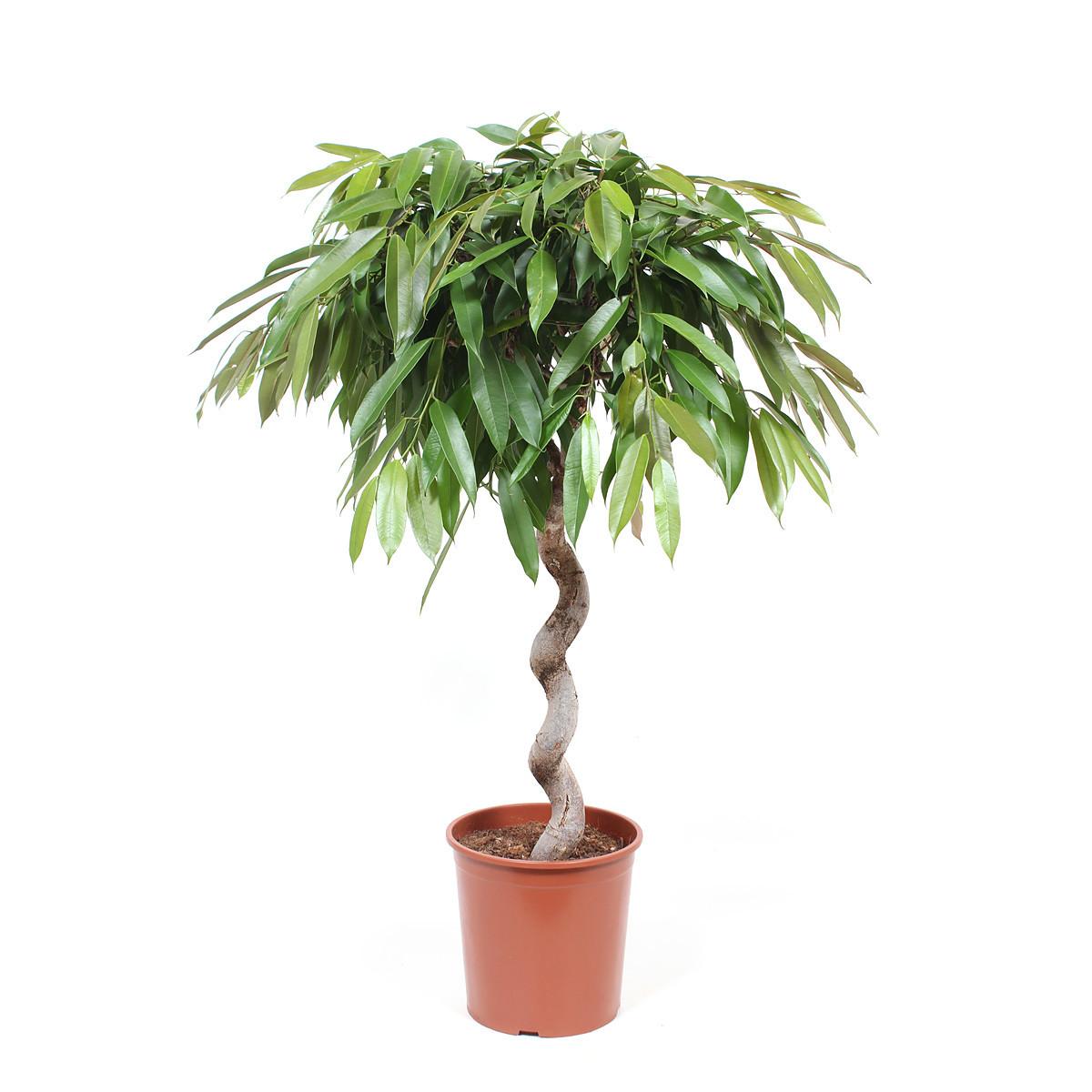 Ficus Amstel King125 cm