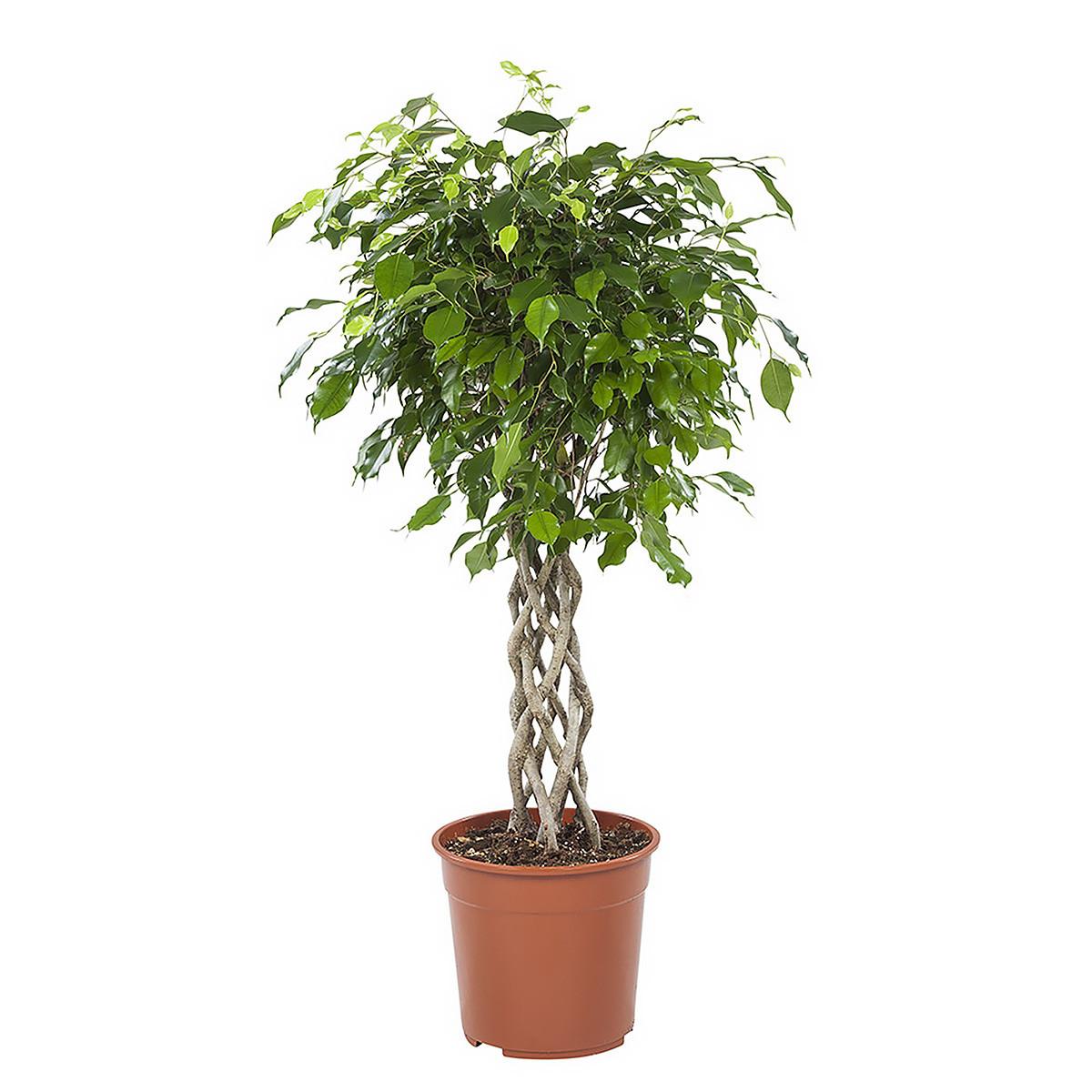 Ficus exotica metkokerstam100 cm