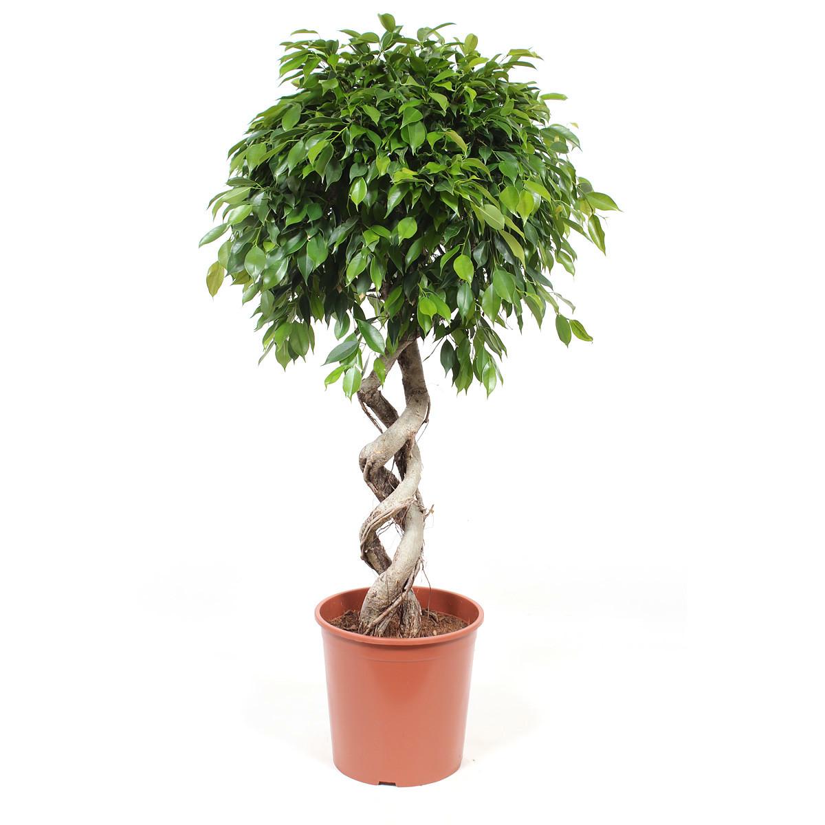 Ficus Foliole125 cm