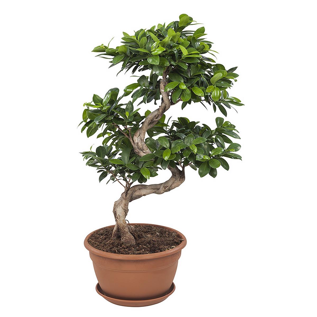 Ficus Gin Seng Bonsai70 cm