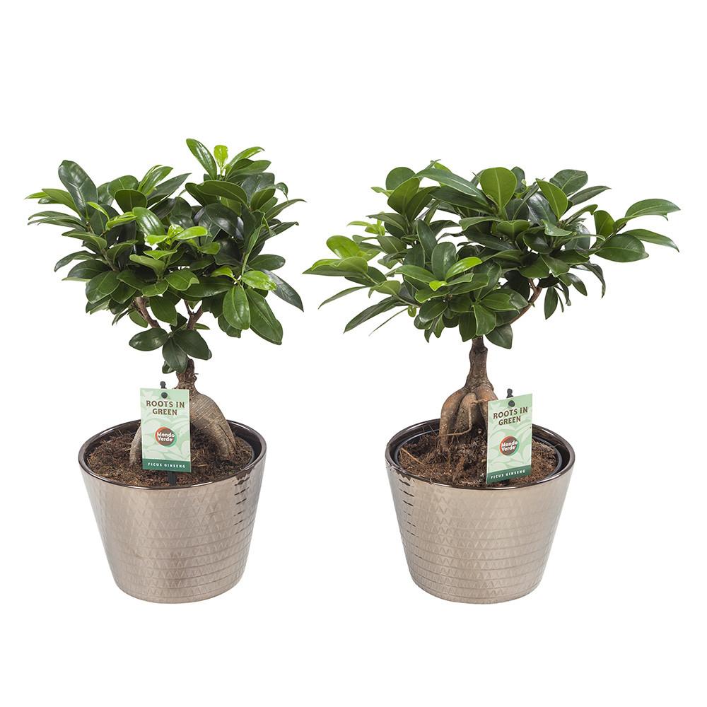Ficus Gin Seng45 cm Wyberline goud keramiek