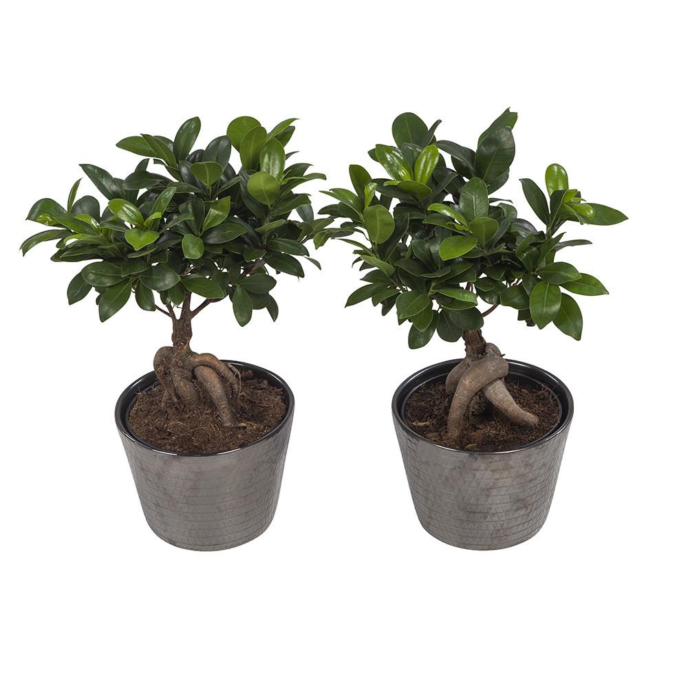 Ficus Gin Seng45 cm Wyberline grijs keramiek