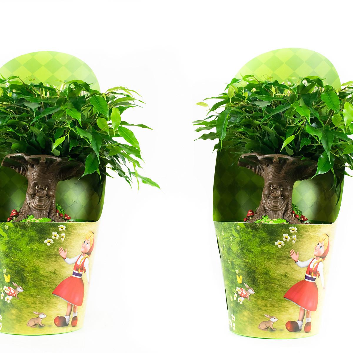 Ficus Green Kinky Sprookjesboom30 cm
