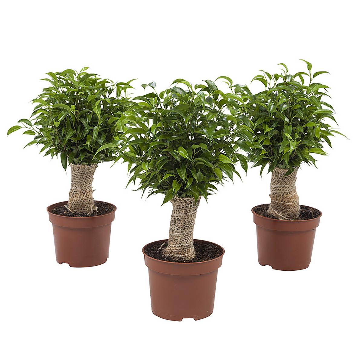 Ficus Natasja35 cm