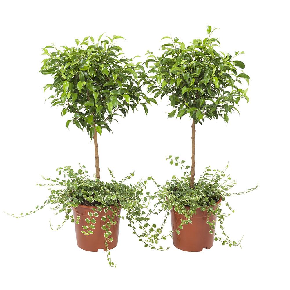 Ficus Pumila65 cm