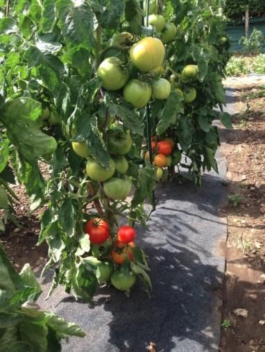 Gronddoek met openingen voor tomaten60 cm x 5 m
