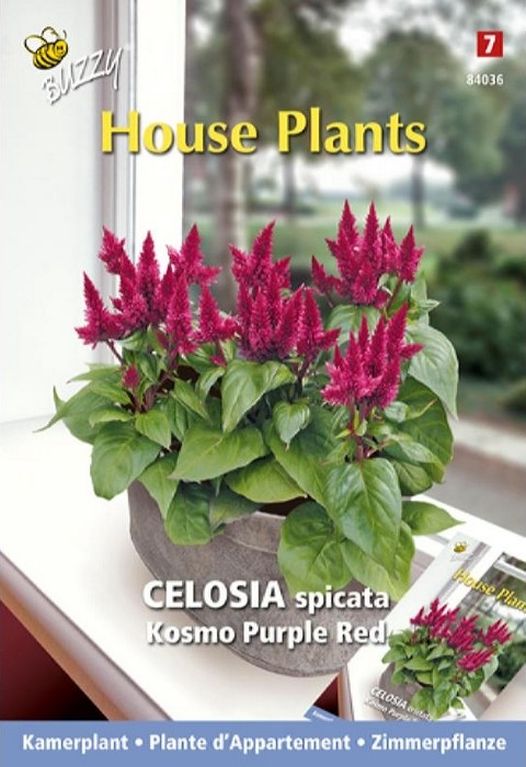 Hanenkam Kosmo Purple RedCelosia spicata