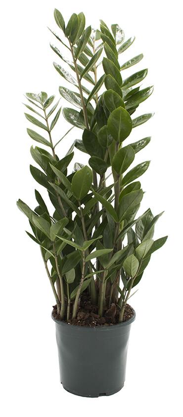 Kamerpalm Zamioculcas zamiifolia 70 cm
