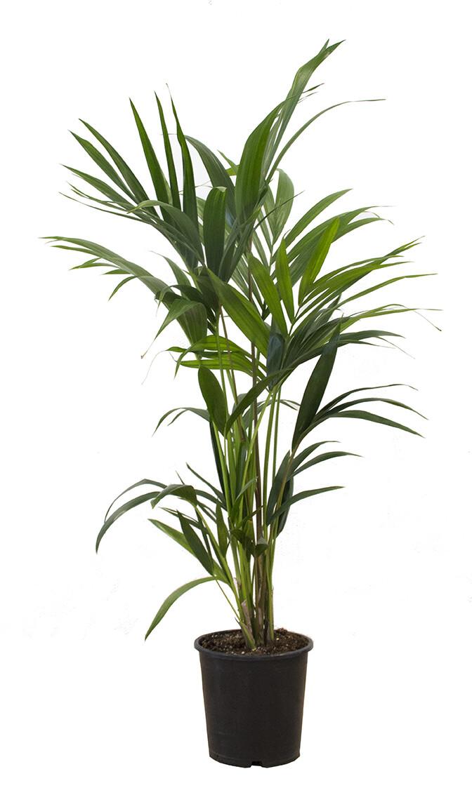 Kentiapalm Howea forsteriana 110 cm