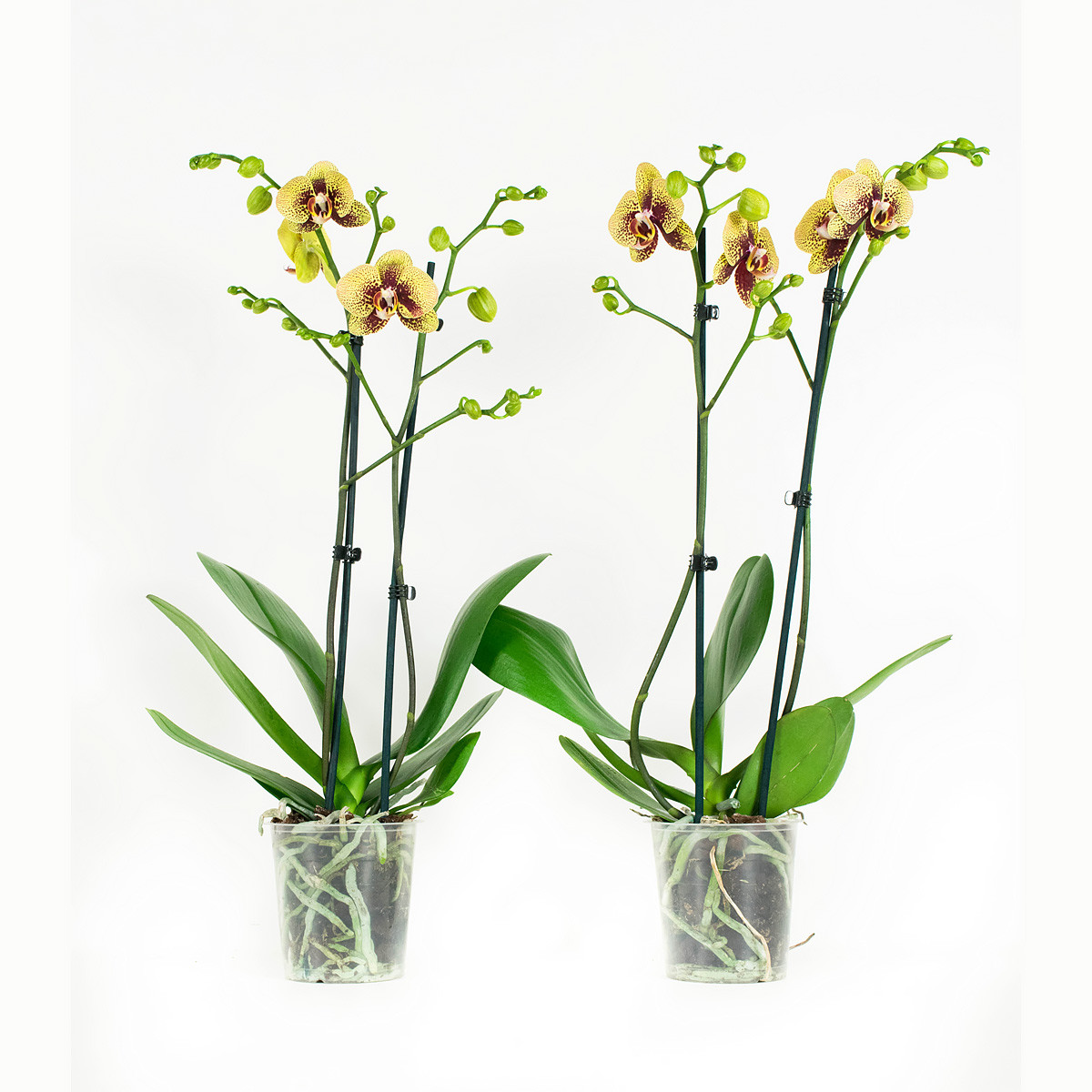Phalaenopsis Elegance Charms60 cm