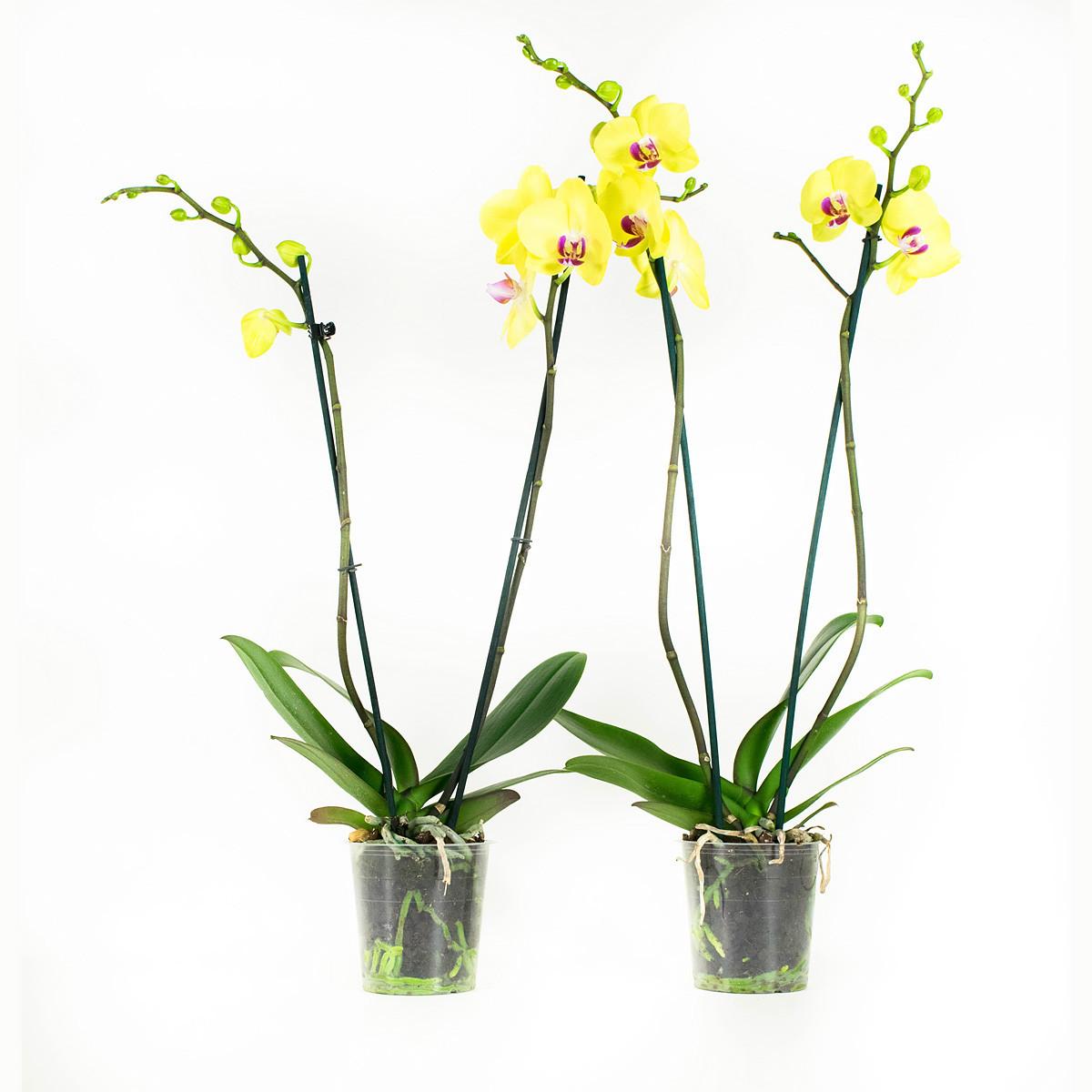 Phalaenopsis Fullers Sunset60 cm