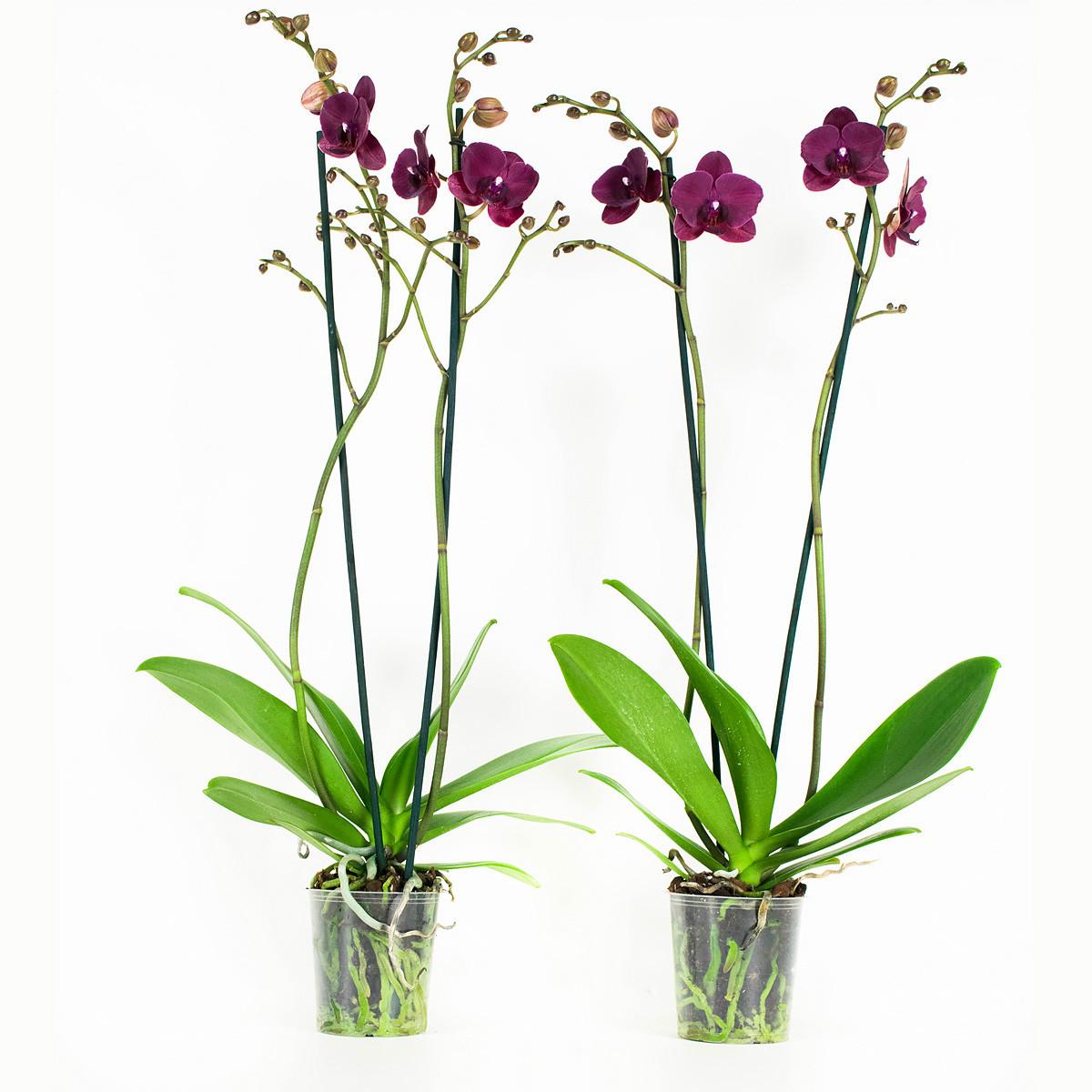 Phalaenopsis Montreux60cm