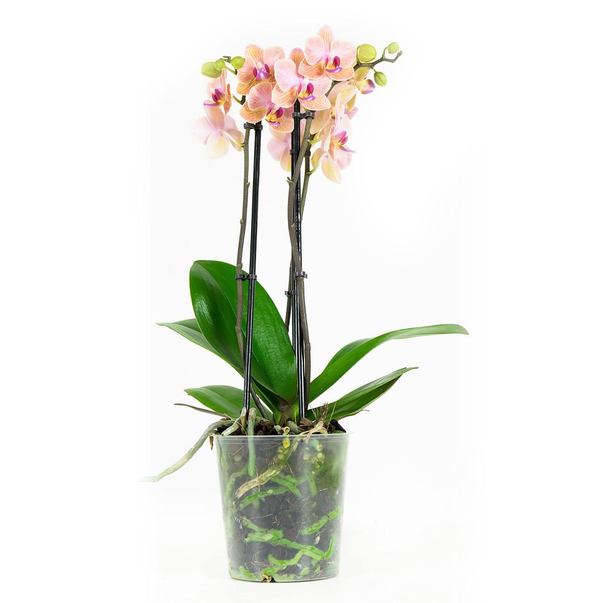 Phalaenopsis Multiflora Jena45 cm