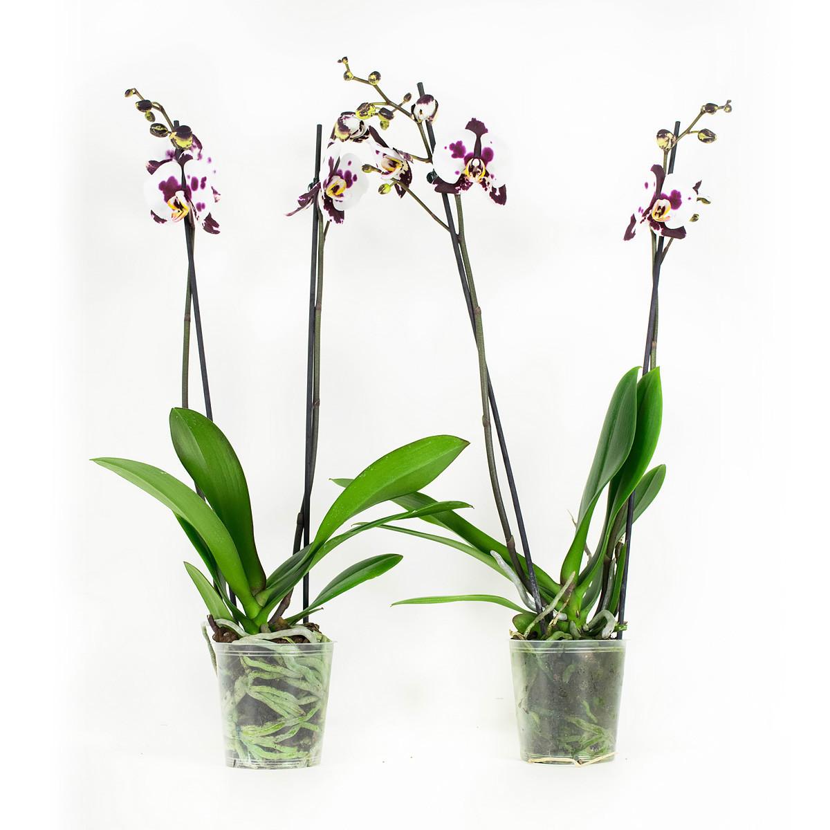 Phalaenopsis Polka Dots White60 cm