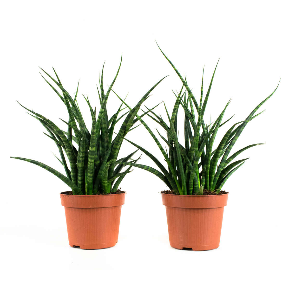 Sanseveria Fernwood Punky25 cm