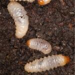 DCM Kraussi-Guard - aaltjes tegen larven van de taxuskever voor 10 m²