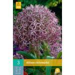 Allium christophii - sierui