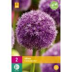 Allium Globemaster sierui - 2 stuks