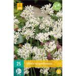 Allium Neapolitanum - sierui