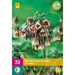 Allium (nectaroscodum) siculum - 30 stuks
