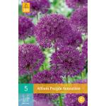 Allium Purple Sensation - sierui