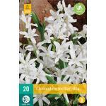 Chionodoxa luciliae Alba - sneeuwroem