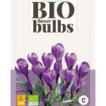 Crocus Grand Maître - bio flowerbulbs