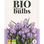 Crocus 'King of the striped' - bio flowerbulbs