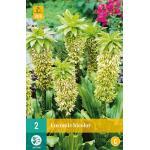 Eucomis bicolor - Ananasplant of kuiflelie (2 stuks)